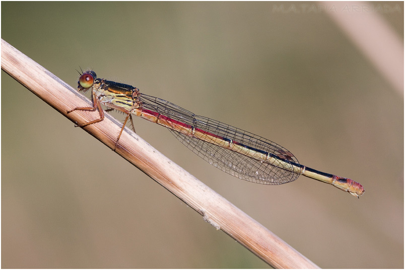 Ceriagrion tenellum photo 1