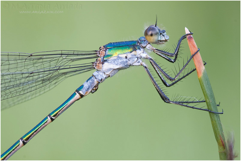 Lestes dryas photo 1