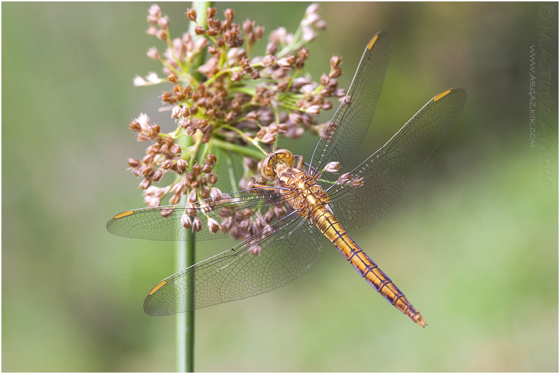 Orthetrum coerulescens photo 1
